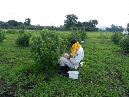 カシス収穫