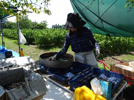 カシス収穫1